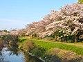 Sakura beside Hatta river - 1.jpg