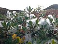 Salix glauca hg.jpg