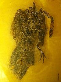 Salmila robusta 1.jpg