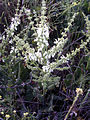 Salvia argentea 14May2009 Habitus CampoCalatrava.jpg