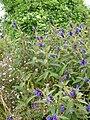 Salvia corrugata.jpg