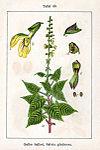 Salvia glutinosa Sturm49.jpg