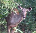 Sambar Deer, female. Servus unicolor - Flickr - gailhampshire (1).jpg