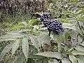 Sambucus ebulus fruit Georgia.jpg