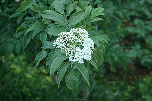 Sambucus palmensis - Image: Sambucus palmensis