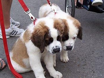 Cachorritos de San Bernardo