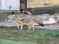 San Joaquin kit fox-6833-healthy male (39443138714).jpg