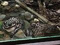 Sapo gigante (Chaunus marinus) 2.jpg