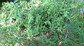Satureja montana illyrica 0zz.jpg