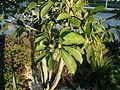 Saucer Magnolia leaves.JPG