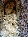 Sawdust like shavings from carpenter ants.jpg