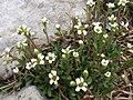 Saxifraga adrosaceae a1.jpg