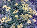 Saxifragales - Sedum kamtschaticum - 4.jpg