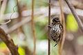 Scaled Piculet Telegrafista Escamado (Picumnus squamulatus rohli) (♀) 2.jpg