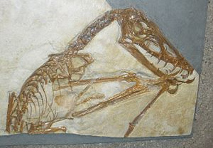 Scaphognathus - Holotype specimen
