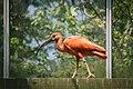 Scarlet Ibis (14283561650).jpg