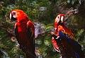 Scarlet Macaws (Ara macao) (36835976191).jpg