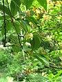 Schisandra chinensis (18154470855).jpg
