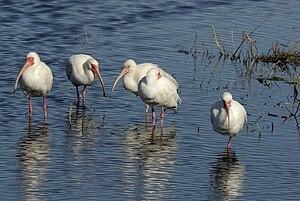 American white ibis - Adults in shallow water at Merritt Island National Wildlife Refuge near the Atlantic coast of Florida