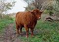 Scottish Highland cow in Westduinpark, The Hague (DSCF1446).jpg