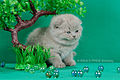 Scottish fold- straight 15.JPG