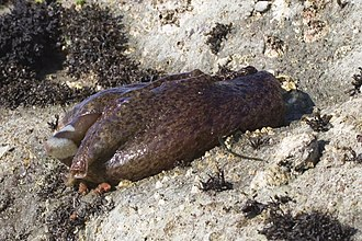 California sea hare - Aplysia californica out of water at low tide near Morro Bay