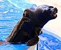 Sea Lion 3 (3308667451).jpg