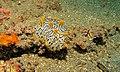 Sea Slug (Halgerda okinawa) (6080136822).jpg