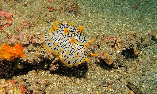 Sea Slug (Halgerda okinawa) (6080136822)