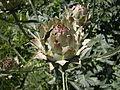 Seattle - Marra Farm artichokes 06.jpg