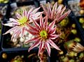 Sempervivum flower 03.jpg