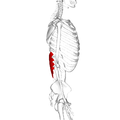 Serratus posterior inferior muscle lateral2.png