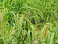 Setaria italica-2-peliyur-yercaud-salem-India.jpg