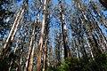 Sherbrooke Eucalypts.jpg