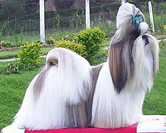 Shih Tzu - A Shih Tzu in full show coat