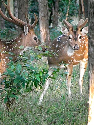Shy Chital Stags.jpg