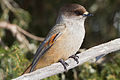 Siberian Jay (Perisoreus infaustus) (13667845783).jpg