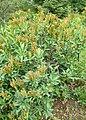 Sibiraea laevigata kz04.jpg