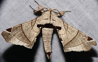 <i>Apatelodes</i> Genus of moths