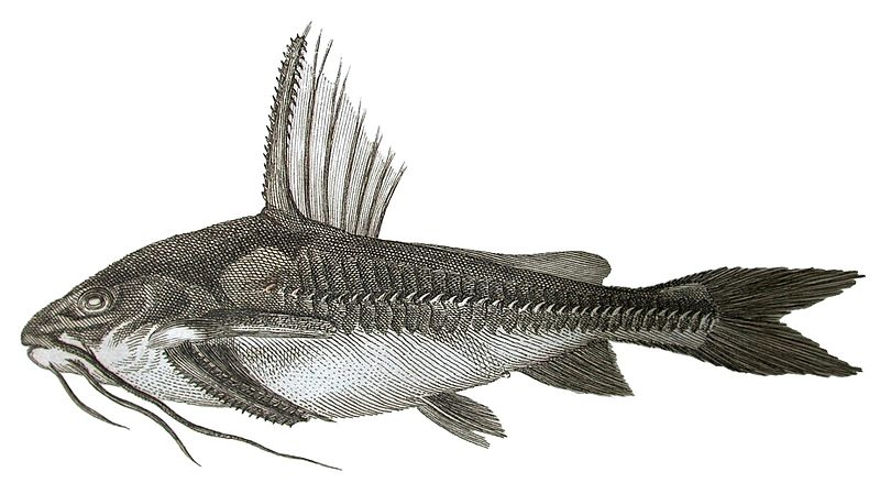Fil:Silurus costatus now in Platydoras sketch of Gronow 1754.jpg