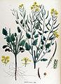 Sinapis alba — Flora Batava — Volume v17.jpg