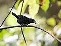 Sipia berlepschi - Stub-tailed Antbird - male.jpg