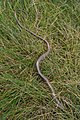 Slow worm (Anguis fragilis) - geograph.org.uk - 644993.jpg