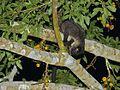 Small-toothed Palm Civet (Arctogalidia trivirgata stigmatica) (8076736823).jpg