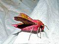 Small Elephant Hawk-moth (Deilephila porcellus) (8338480022).jpg