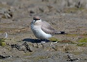 Little Pratincole, a wader which hunts insects in flight