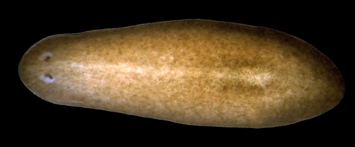 tricladida plathelminthen)