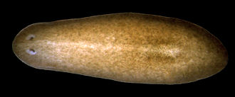 "Evolution of the eye - The planarian has ""cup"" eyespots that can slightly distinguish light direction."