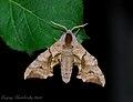 Smerinthus ocellata ocellata - 2.jpg