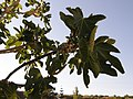Snails on a fig (696256501).jpg